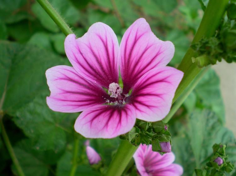 锦葵科_锦葵花卉种子 一二年生花卉 花啦啦花卉种业
