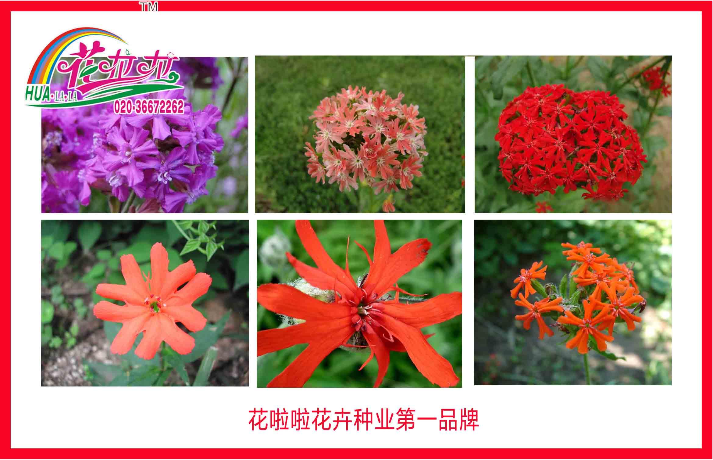 宿根花卉种子