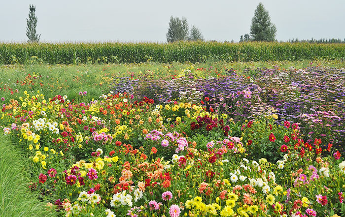 混合花种产地