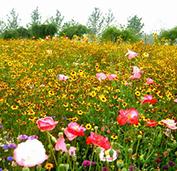 田野风野花组合花种得到了别墅客户的一致好评