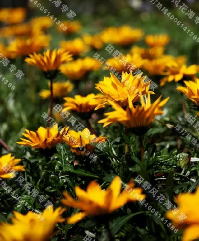 每日一花,勋章菊花卉种子!