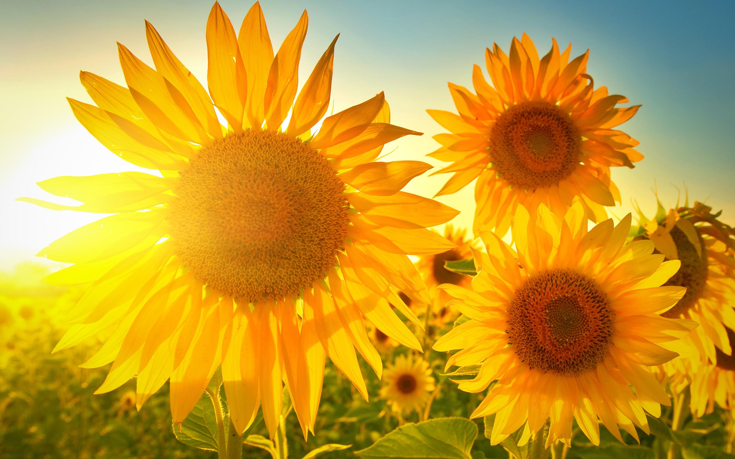 新晋网红小花旦--观赏向日葵