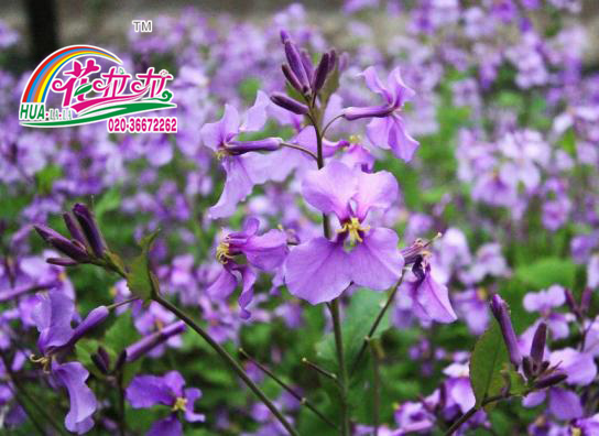 每日一花——二月兰花卉种子