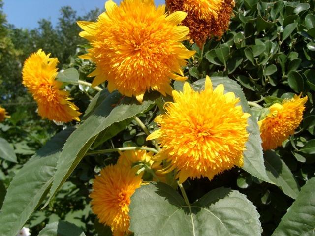 玩具熊向日葵:自带光环的花界萌宠