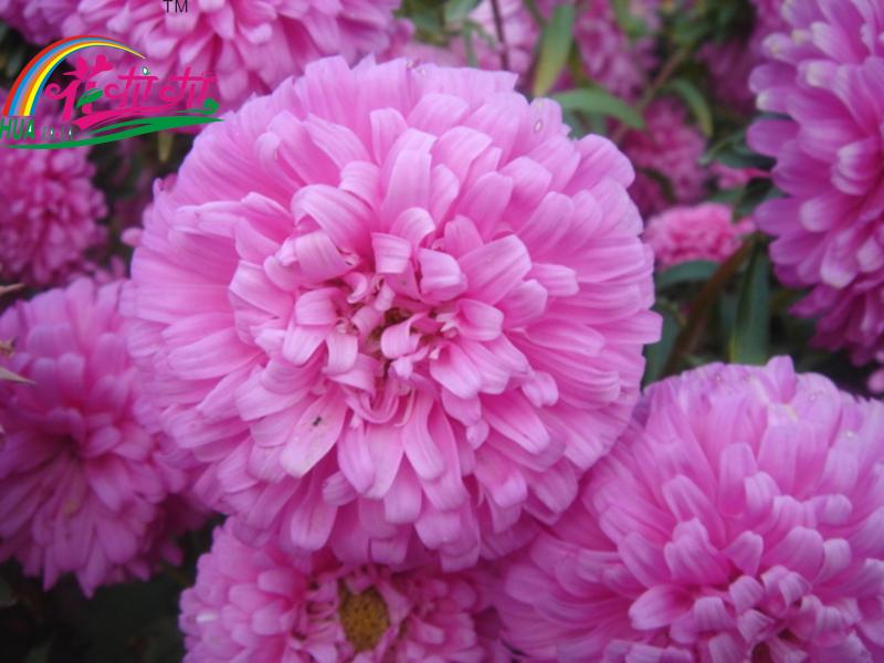 【田野风产品】一二年生花卉——翠菊