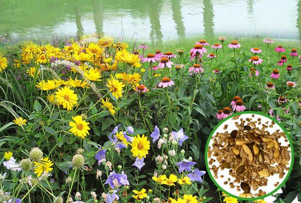 河岸花卉野花组合  突出特点 河岸花卉野花组合选用多种表现出众的一二年生花卉品种和多年生花卉品种组合而成,比如一年生的飞燕草、蛇目菊、多年生的百日草、滨菊等等。本组合颜色丰富多彩,广泛应用于河岸、小溪边、湖边等地方,因为生长在河边、湖边,所以该组合具有耐湿性,环境适应能力强,不需要频繁的定期养护,大大节约了建造和管理成本。河岸野花组合色彩丰富,令人爽心悦目,易于营造自然和谐的美景。让河边、湖边显示的格外的美观。 河岸花卉野花组合的播种季节