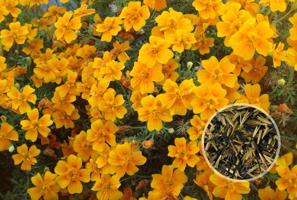 孔雀草花种子