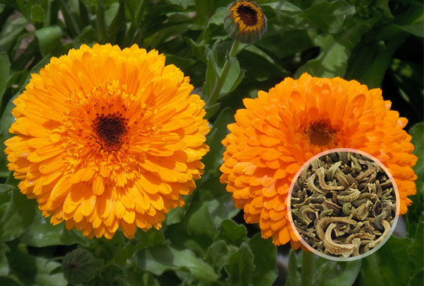 金盏菊花种子