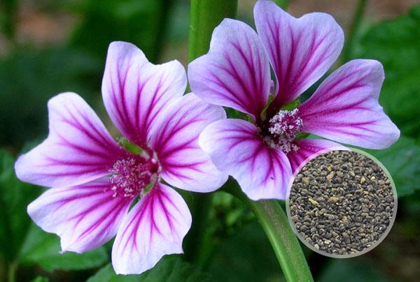 锦葵花卉种子