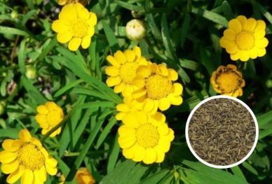 黄晶菊花种子