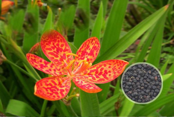 射干花卉种子