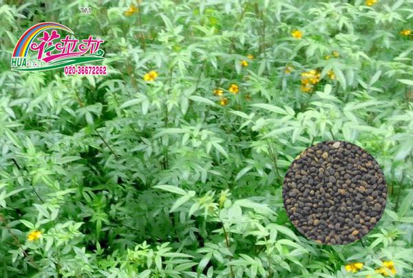 欧洲香草花卉种子