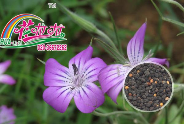 60厘米_麦仙翁|麦仙翁花卉种子|一二年生草本植物|花啦啦花卉种业第一品牌