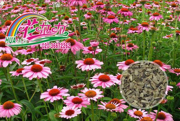 松果菊花卉种子