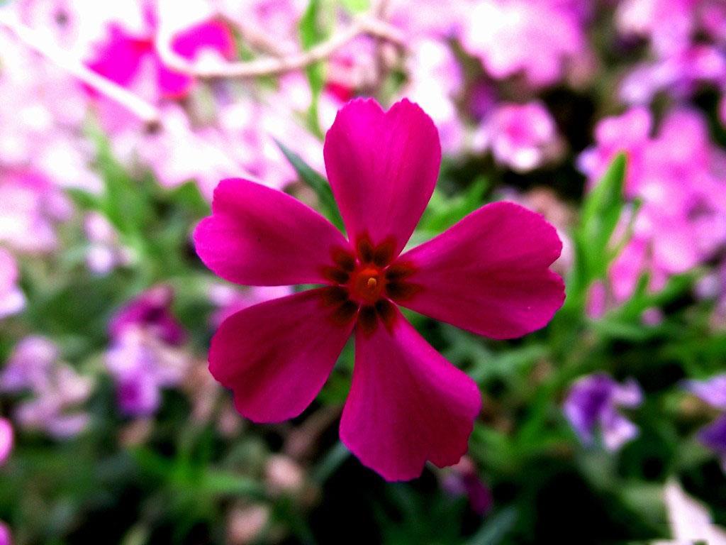 矮雪轮花卉种子