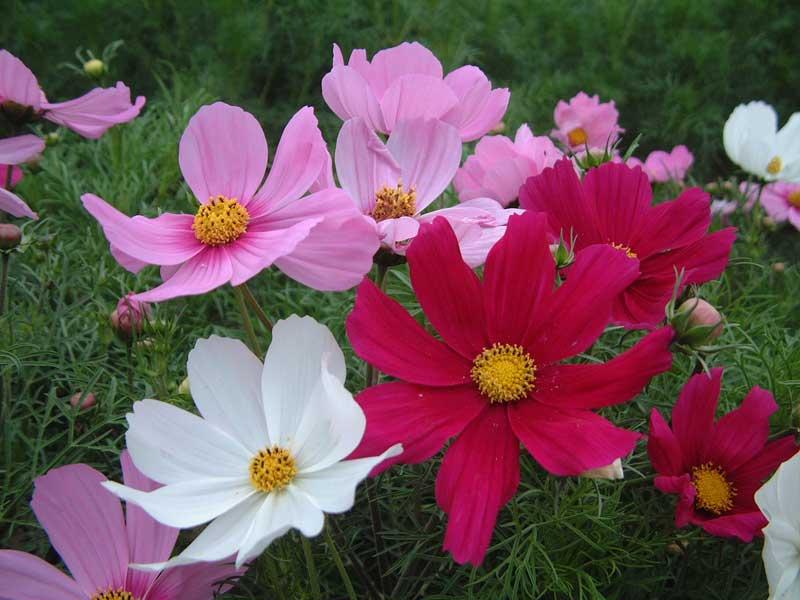 矮波斯菊花种子