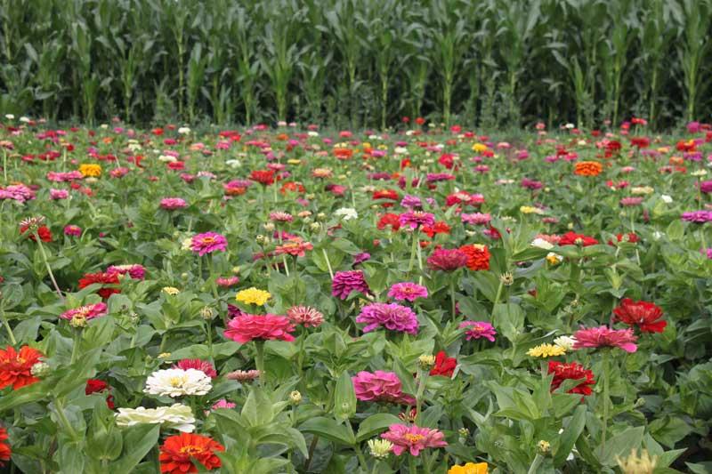 超级矮生野花组合