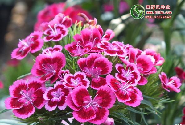 五彩石竹花种子