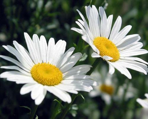 白晶菊花种子