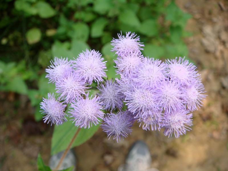 藿香蓟花卉种子