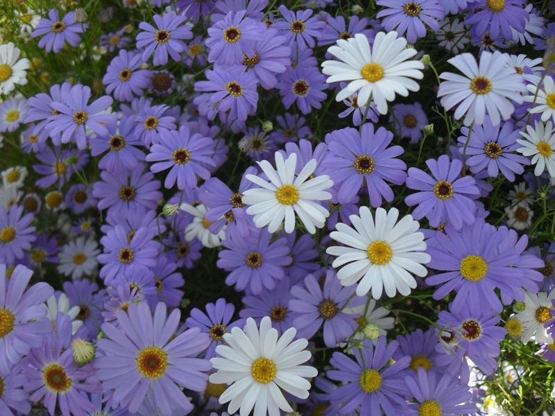 五色菊花种子