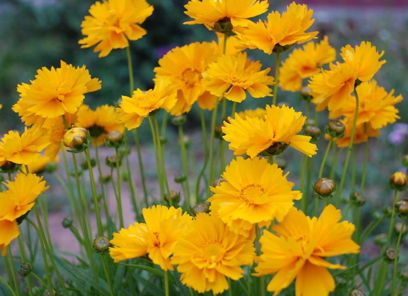 金鸡菊花卉种子