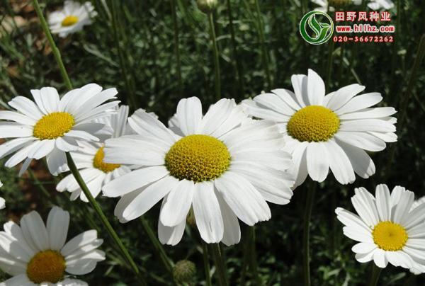 除虫菊花种子