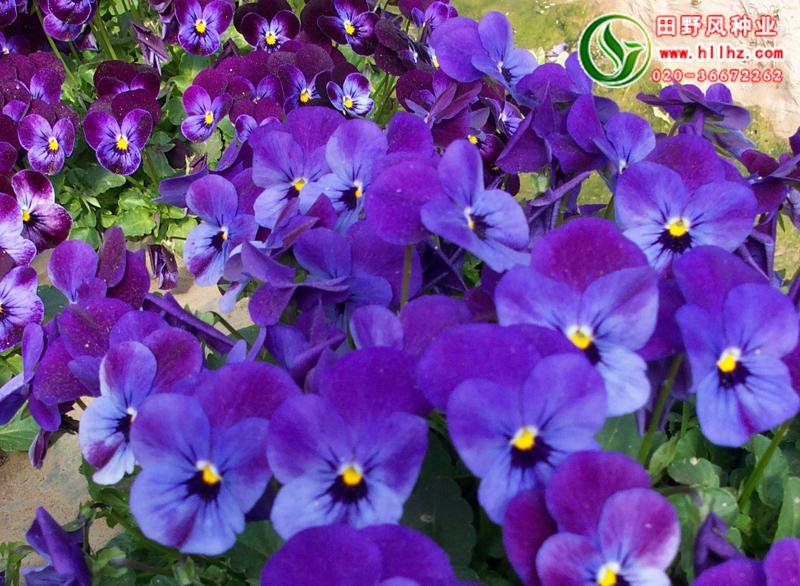 蓝色野花组合种子