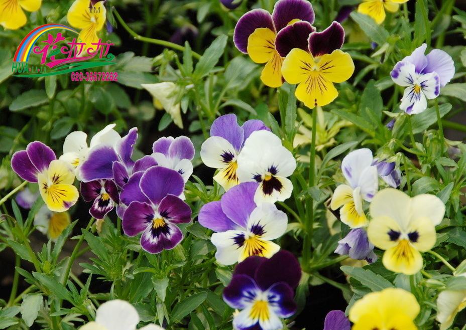 三色堇花卉种子
