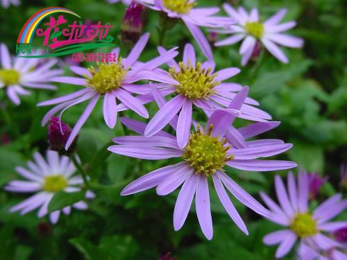 紫苑花卉种子