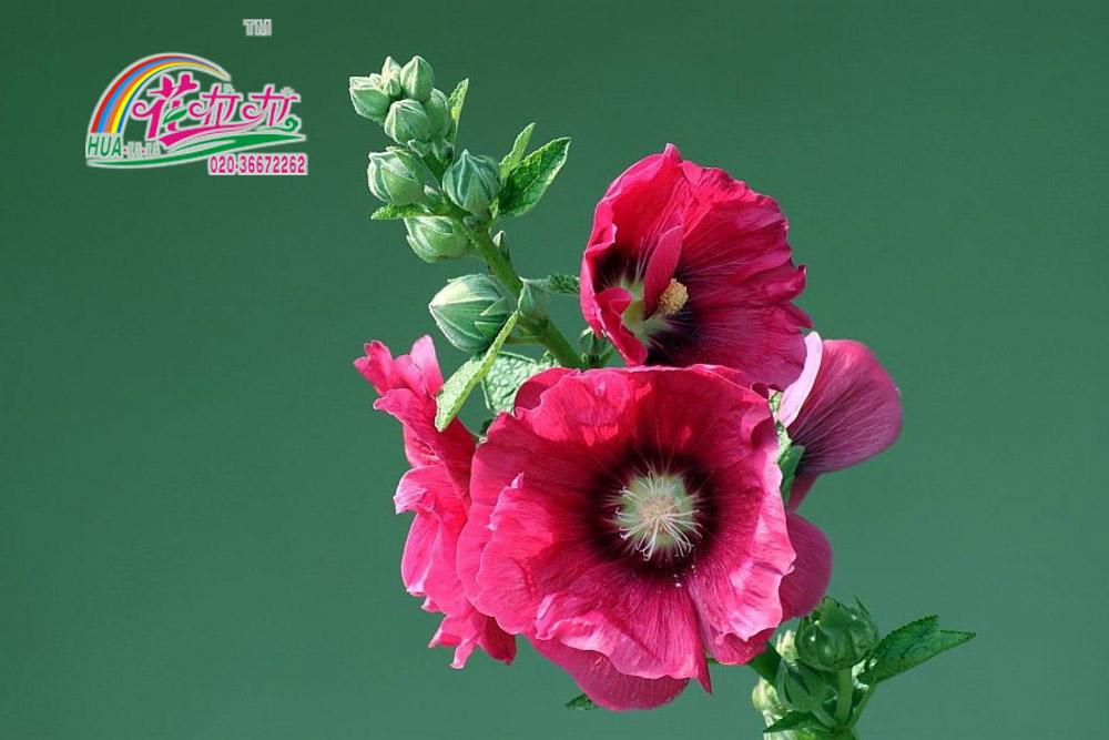 蜀葵花卉种子