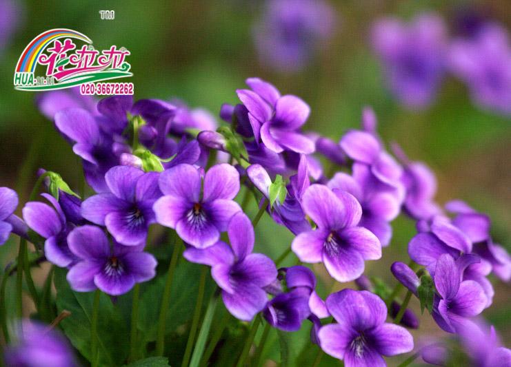 紫花地丁花卉种子