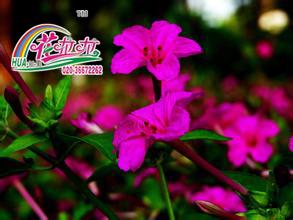 紫茉莉花卉种子