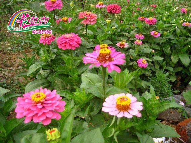 百日草花卉种子