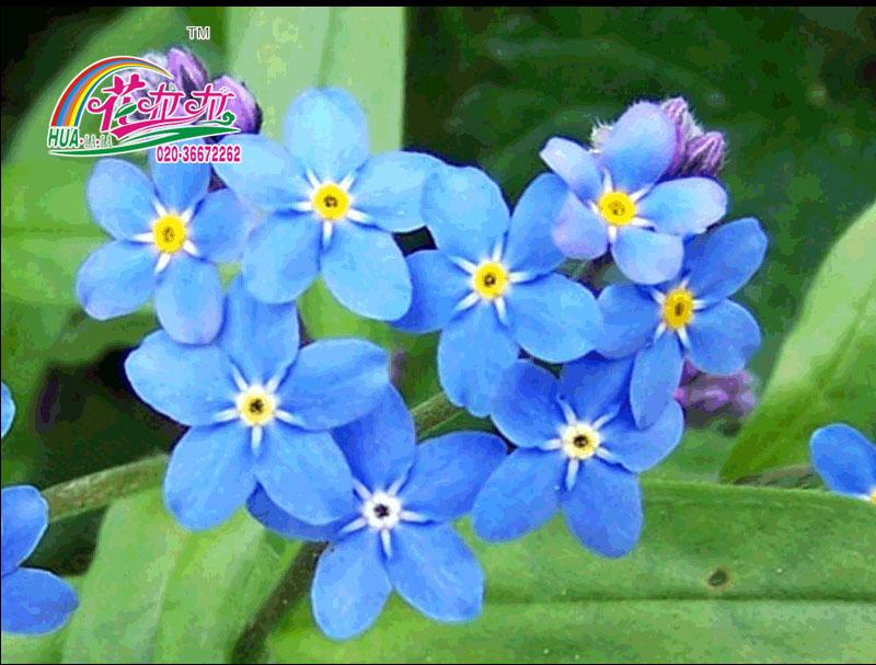 勿忘我花卉种子