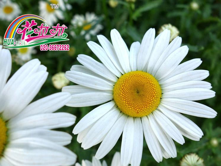 大滨菊花卉种子