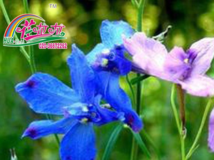 飞燕草花卉种子