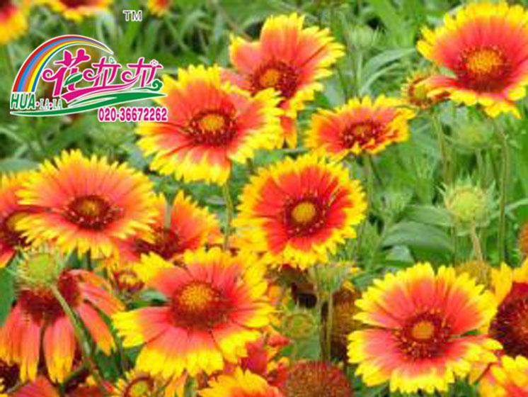 天人菊花卉种子