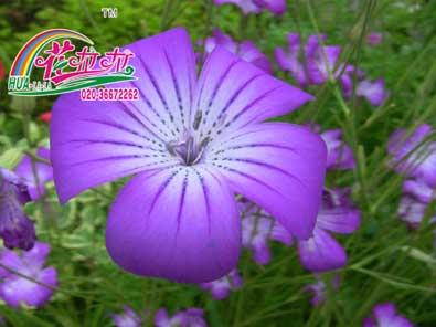 麦仙翁花卉种子