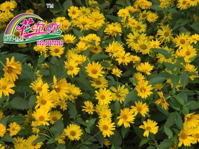 日光菊花卉种子