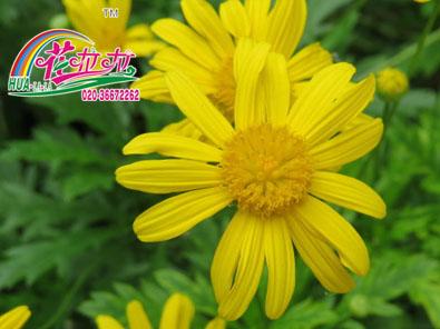 春黄菊花卉种子