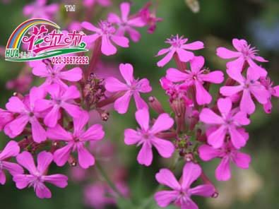 高雪伦花卉种子