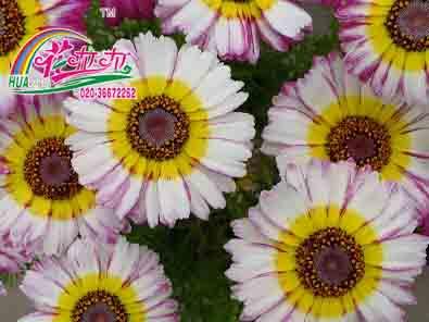 花环菊花卉种子