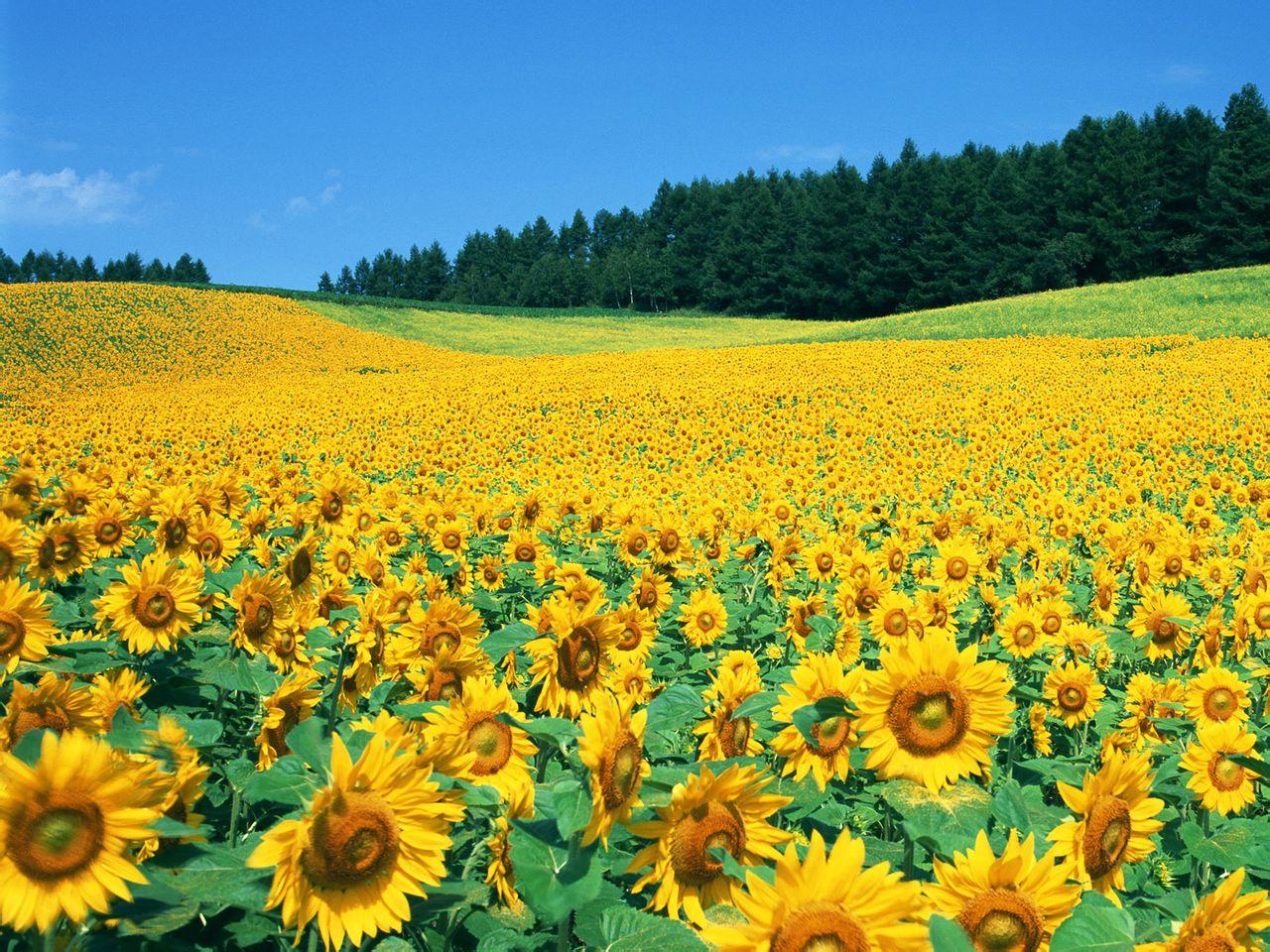 广州百万葵园景观花卉种植工程方案